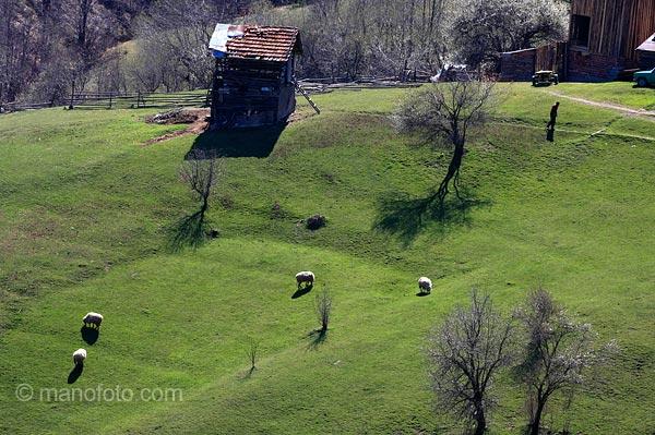 Овце в Родопите